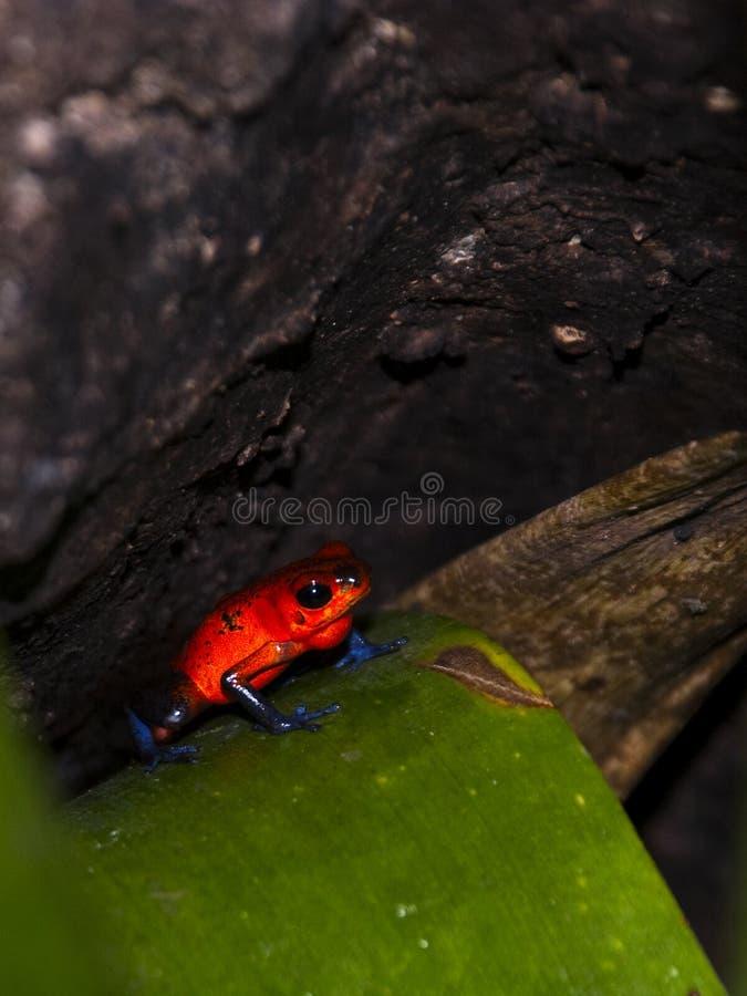 голубые джинсыы лягушки стоковое изображение