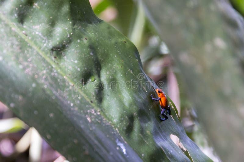 Голубые джинсы сметывают лягушку, pumilio Коста-Рика Oophaga стоковое изображение rf