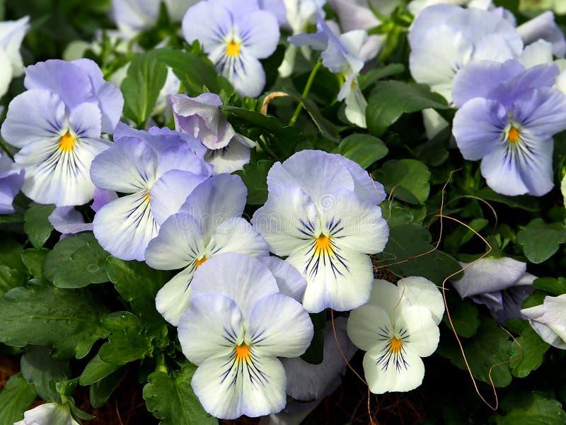 Голубые и белые альты или Pansies в цветени стоковые фотографии rf