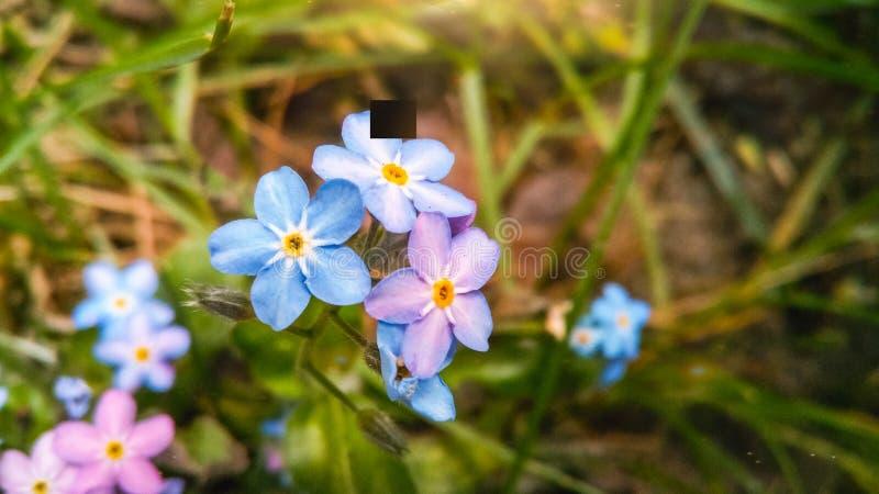 Голубые и розовые цветки незабудки стоковая фотография rf