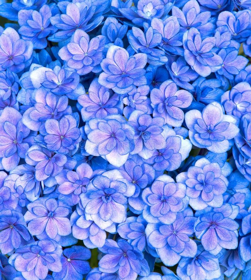 Голубые и фиолетовые цветки гортензии стоковые фото
