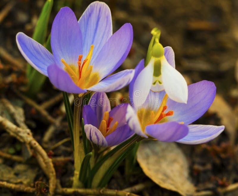 Голубые крокус и крупный план цветков snowdrop стоковое фото rf