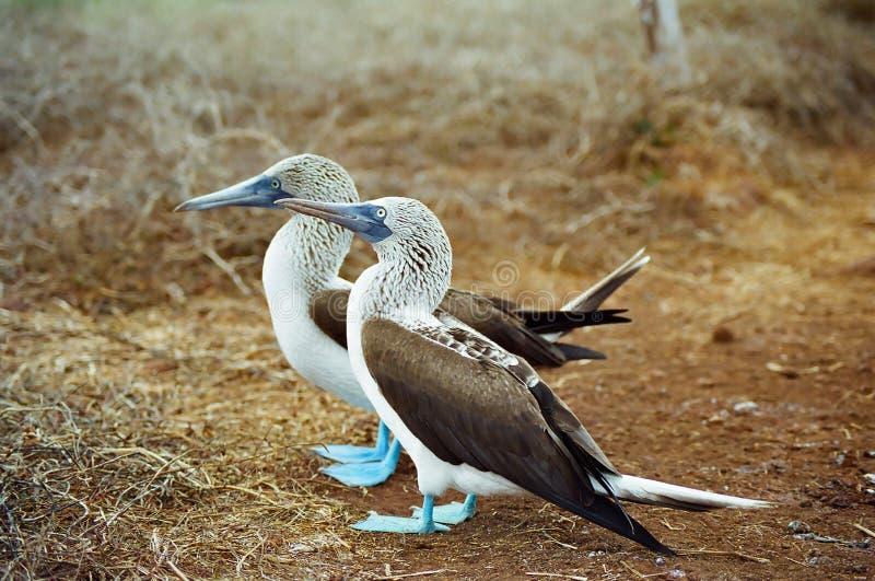 голубые олухи footed galapagos стоковое фото rf