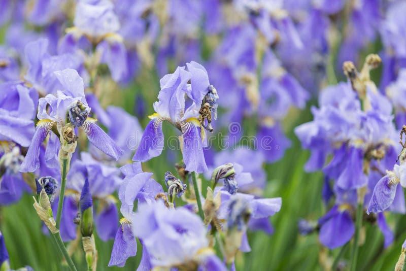 Голубые радужки после дождя с падениями на цветках стоковое фото
