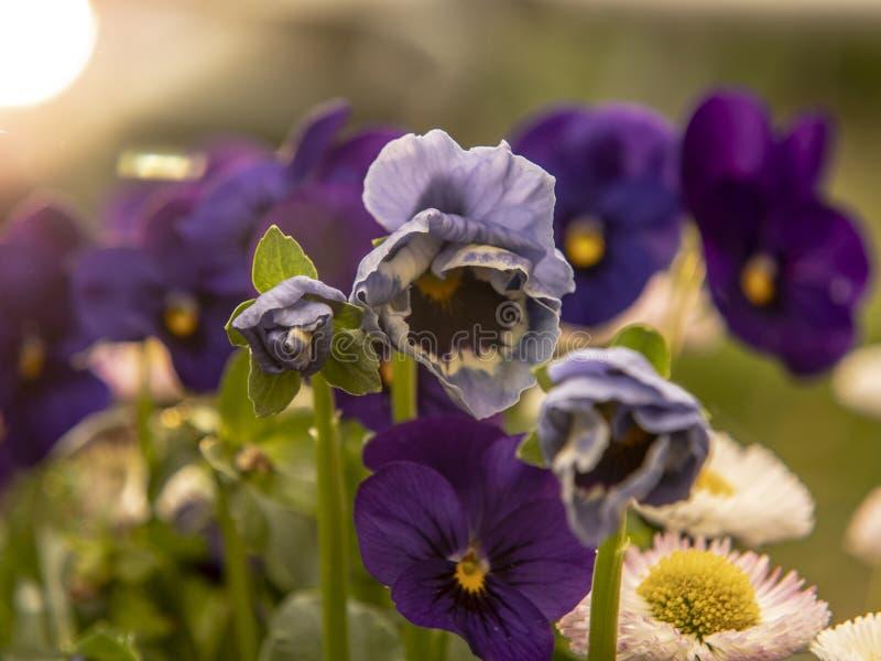 Голубые цветки в саде стоковая фотография
