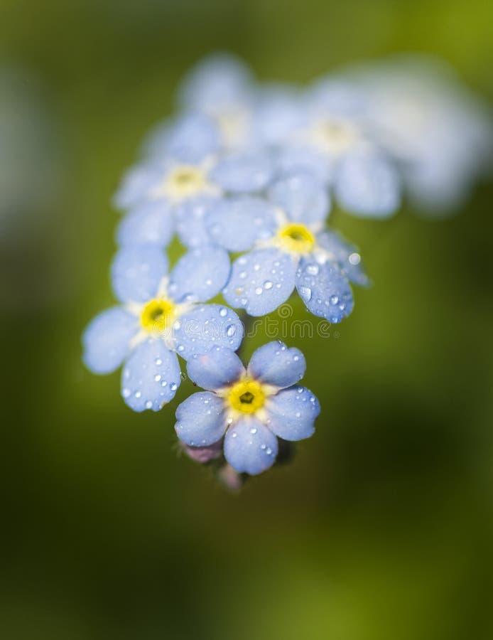 голубые цветки забывают меня не стоковые фотографии rf