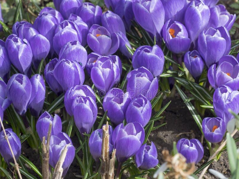 голубые цветки крокуса стоковые фотографии rf