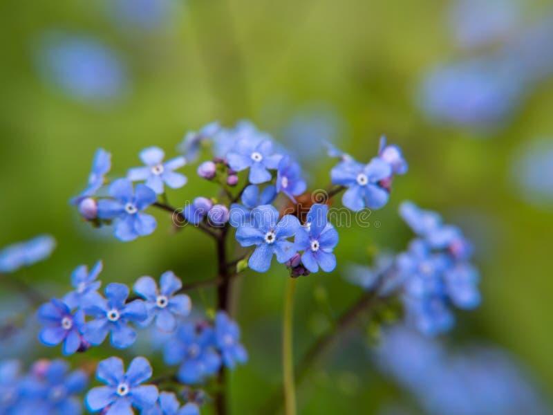 Голубые цветки на зеленой предпосылке стоковое фото rf
