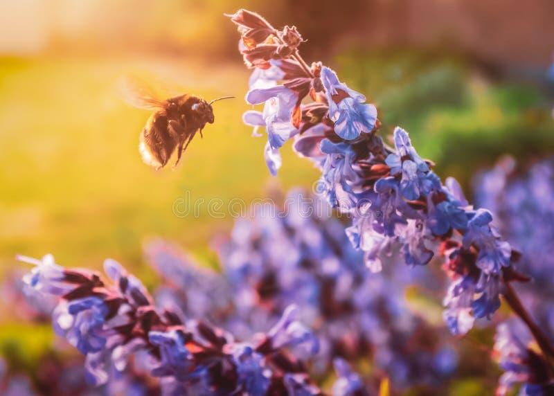 Голубые цветки от растущего мудрого завода травы привлечь на летать для того чтобы путать пчела в саде или заднем дворе во время  стоковые изображения