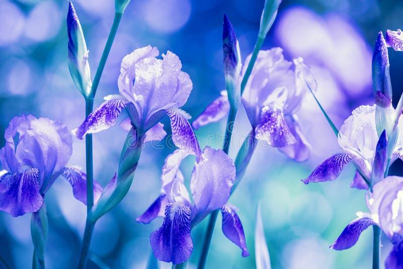 Голубые цветки радужки в саде стоковая фотография