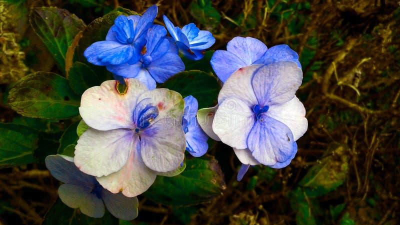 Голубые цветки уже увяли представляющ течение времени стоковые фото