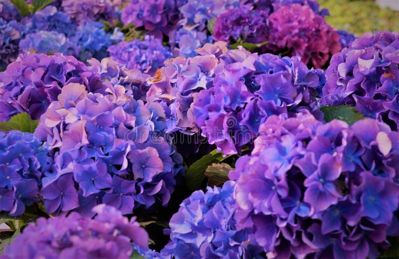 Голубые цветы, фиолетовые стоковые изображения