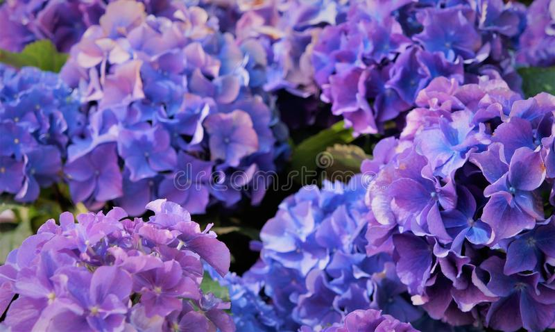 Голубые цветы, фиолетовые стоковое изображение rf