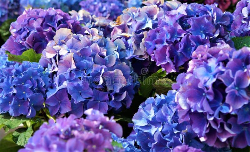 Голубые цветы, фиолетовые стоковые фото