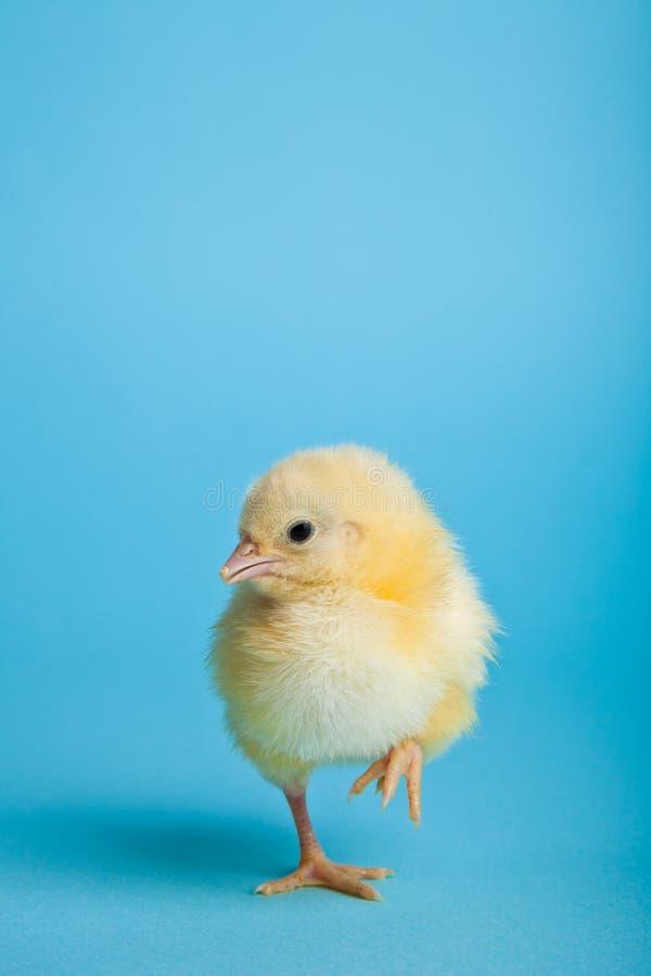 голубые цыплята пасха стоковое изображение