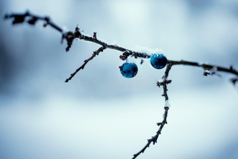 Голубые ягоды терновника с предпосылкой зимы Эмоциональная девушка зима белизны снежинок предпосылки голубая стоковые изображения
