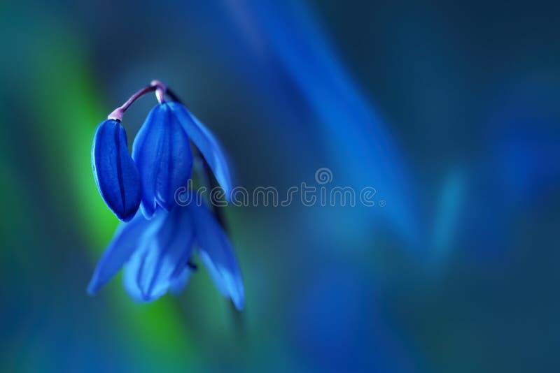 Голубые snowdrops цветенй цветеня весной Scilla Мягкий фокус макроса r стоковое фото