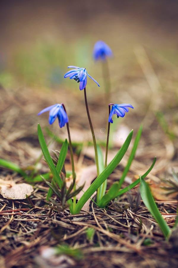 Голубые snowdrops цветенй цветеня весной Scilla Мягкий фокус макроса r стоковое изображение rf