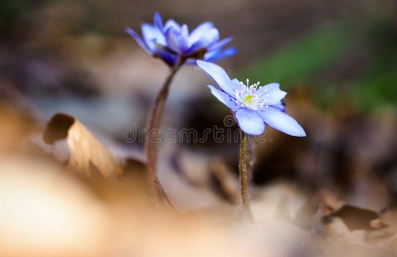 Голубые woodflowers стоковые изображения