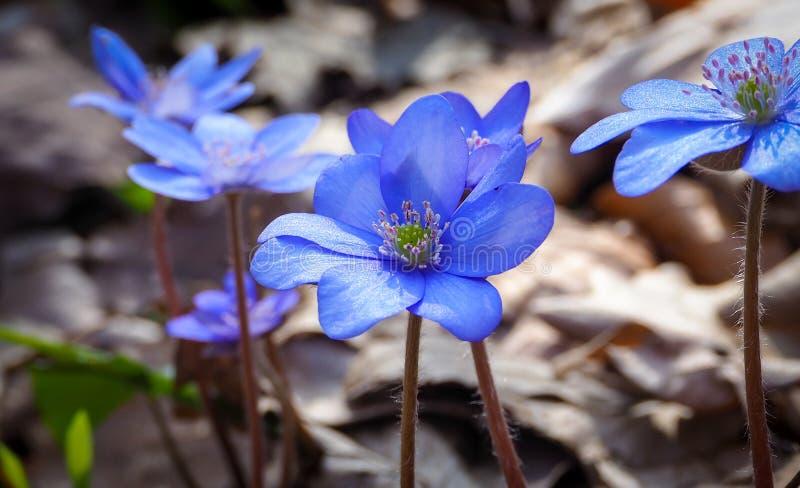 Голубые woodflowers стоковая фотография rf
