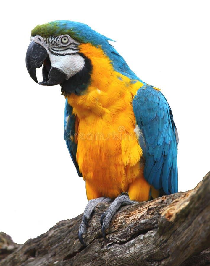 голубым macaw изолированный золотом стоковые изображения rf