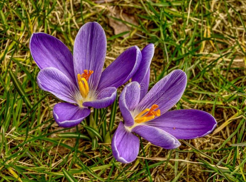2 голубых цветка крокуса сверху стоковые изображения