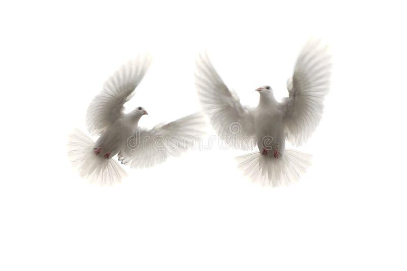 Голубь белого пера 2 летая средний воздух против белой предпосылки стоковые фотографии rf