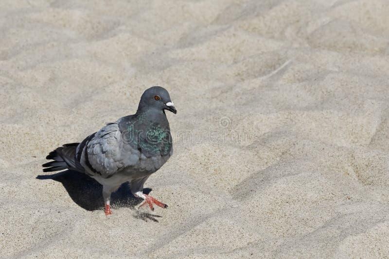 Голубь идет на песчаный пляж стоковое изображение rf
