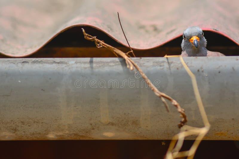 Голубь позаботится о ее младенцы в ее гнезде стоковые изображения rf