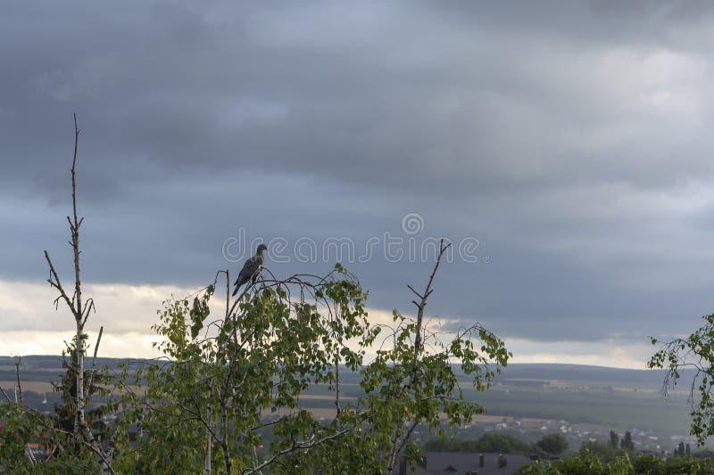 Голубь сидит на ветви высокого дерева ждать шторм против неба стоковое изображение rf