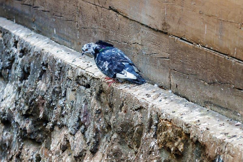 Голубь сидит на гребне стоковое изображение rf