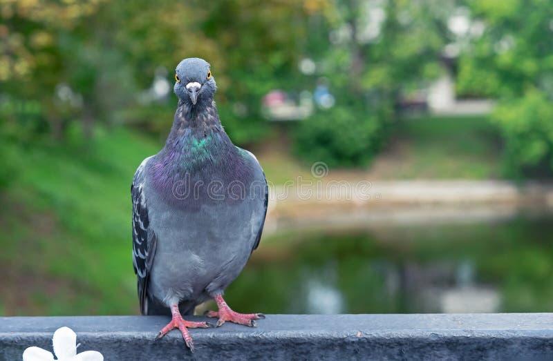 Голубь сидит на перилах металла в парке города стоковые фотографии rf
