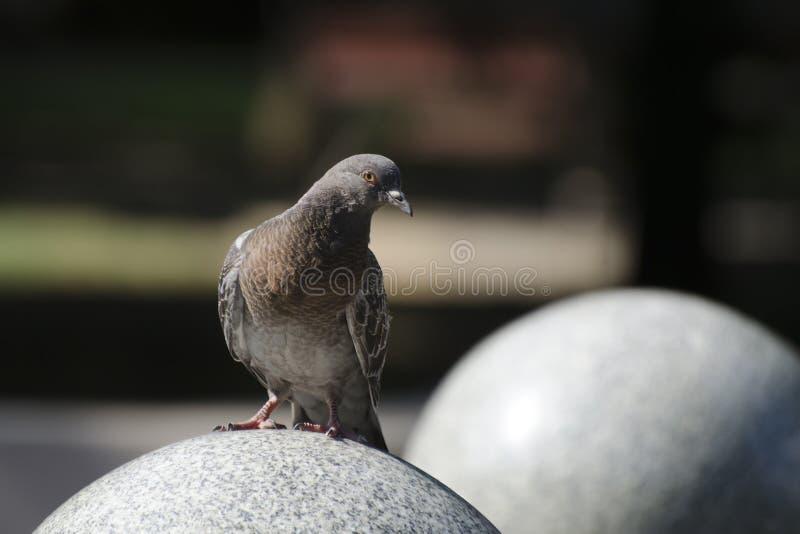 Голубь сидя на каменном шарике в парке стоковое фото