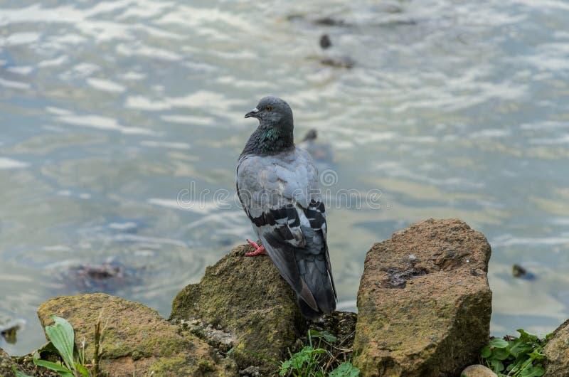 Голубь сидя на камне на озере стоковая фотография rf