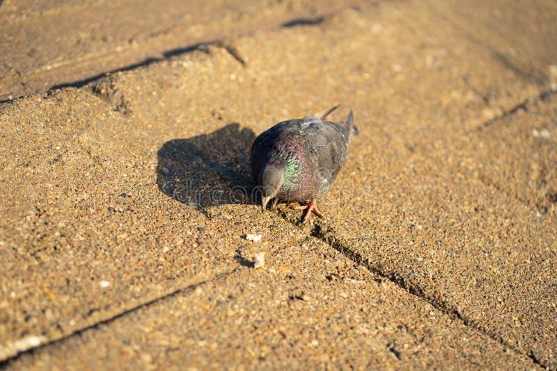 Голубь стоя мирно на бетоне смешанном с плитками гравия обозревая окружать и наслаждаться теплое солнце на теплом стоковые фотографии rf