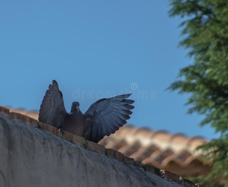 Голубь с открытыми крылами стоковая фотография