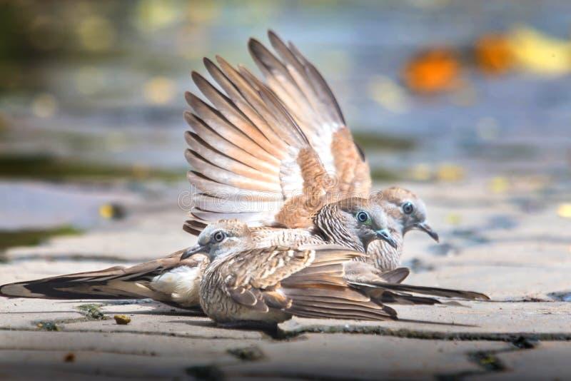 3 голубя на поле цемента Смотреть на эти же 3 голубя на поле цемента 2 птицы распространили их крыла совместно Другая птица сидит стоковые изображения rf