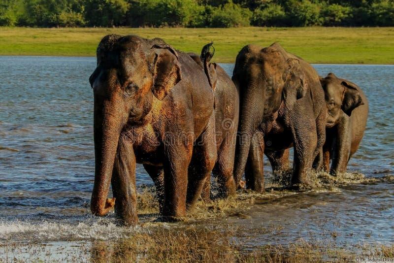 Гонка слонов стоковые фотографии rf