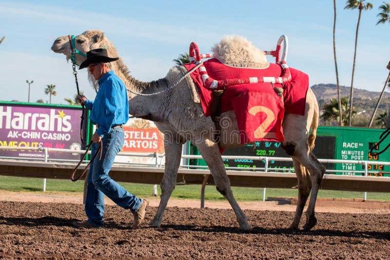 Гонки верблюда в Фениксе, Аризоне стоковое изображение