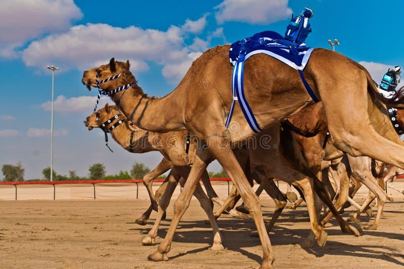 Гонки верблюда в Дубай стоковые изображения rf
