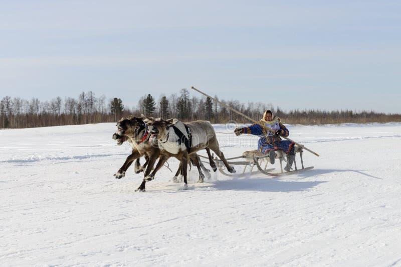 Гонки на скелетоне северного оленя в дне пастуха северного оленя на Yamal стоковая фотография