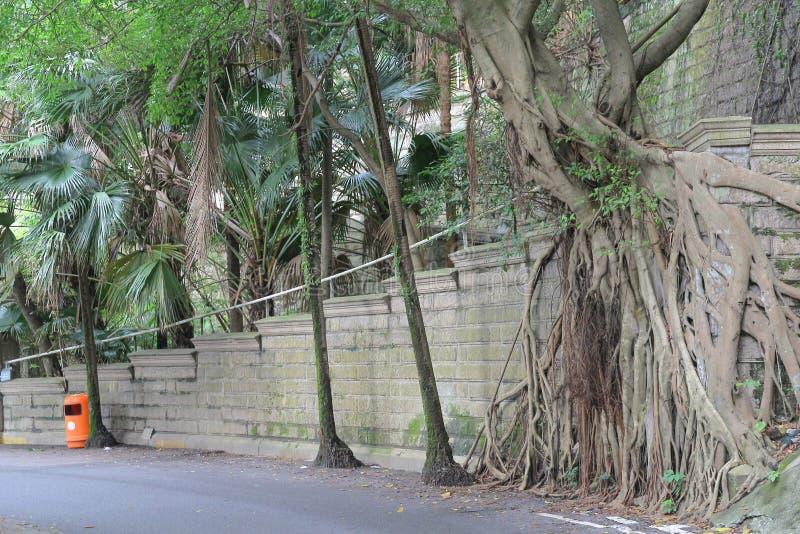 Гонконг, большой баньян растя стена стоковая фотография