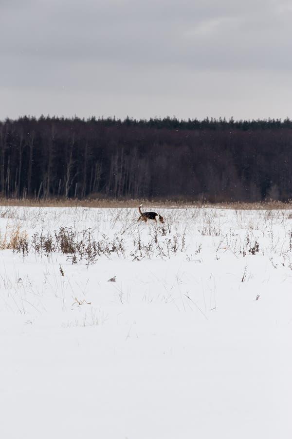 Гончая бежит вокруг покрытого снег поля стоковая фотография
