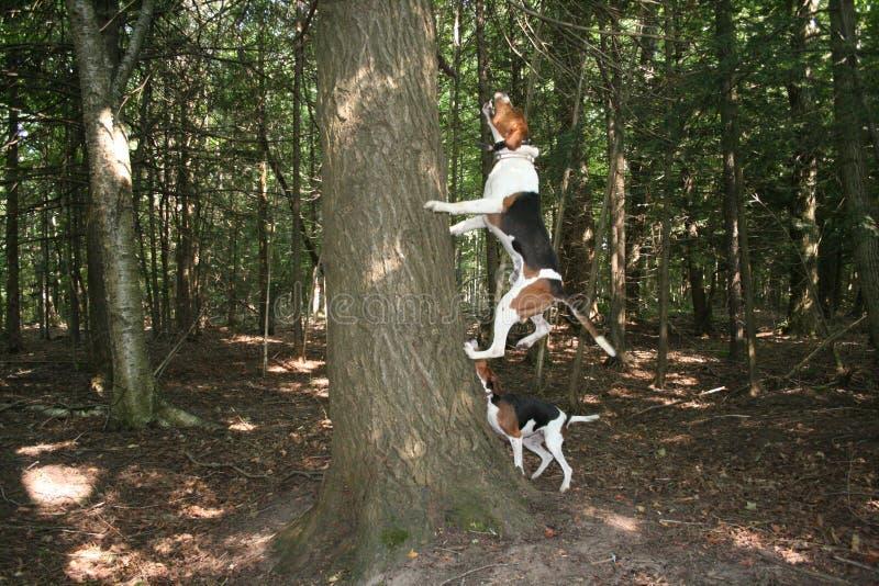 Гончая енота ходока преследуя на дереве стоковые изображения rf