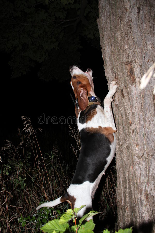 Гончая енота ходока преследуя на дереве стоковое фото rf