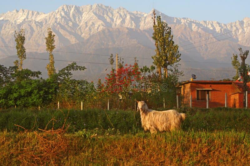гора индейца Гималаев козочки козерога aries стоковое изображение rf