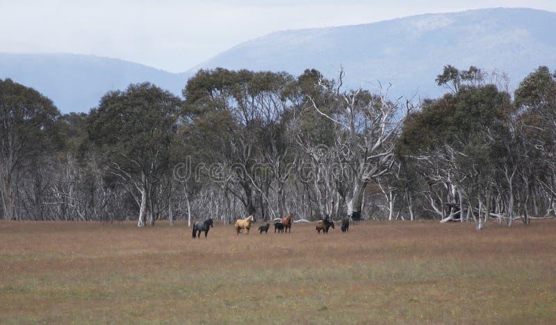 гора лошадей brumbie снежная стоковое фото rf
