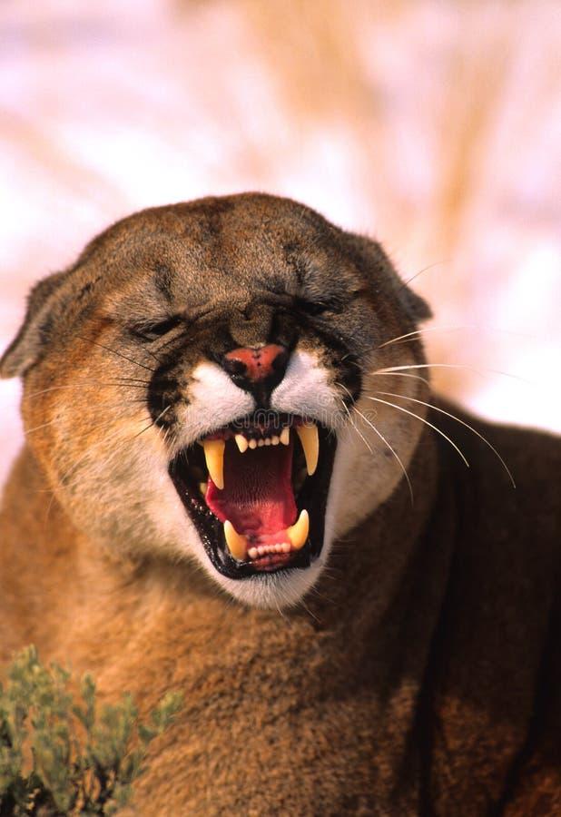 гора льва спутывая стоковое фото rf