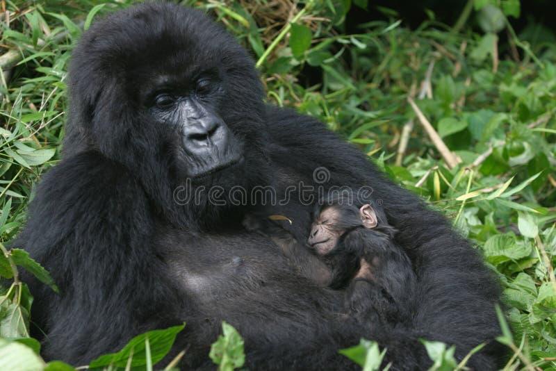 гора Руанда гориллы стоковое фото rf