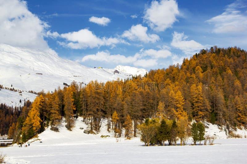 Гора снега с последним желтым цветом от деревьев лиственницы стоковые изображения
